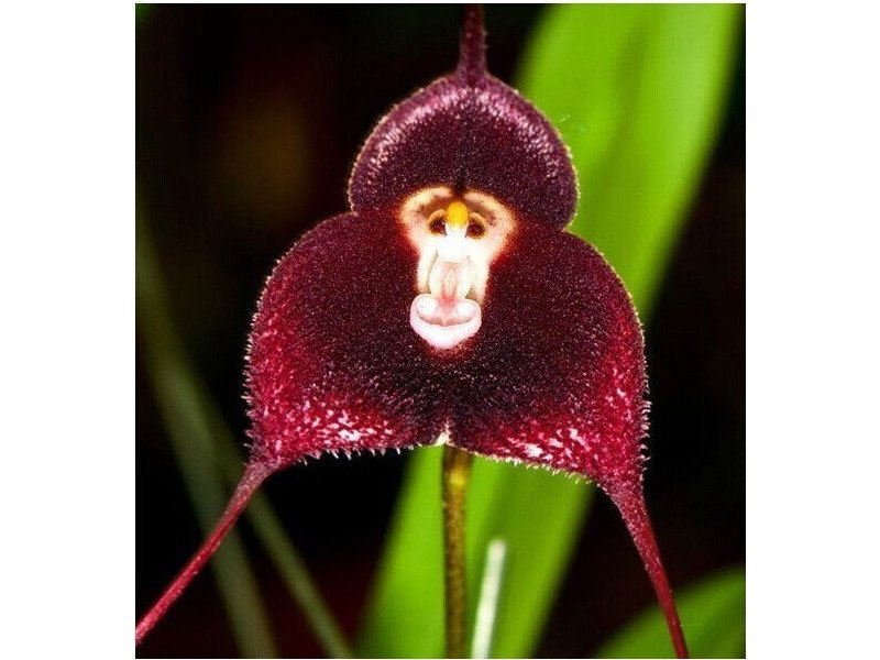 orchidee z nasion